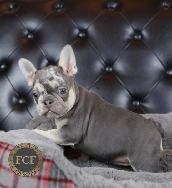 French Bulldog Puppies For Sale Eastern Ohio